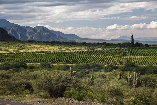 argentine vinyard
